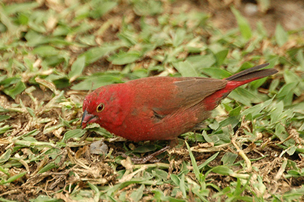 Red Bellied Finch Red Bellied Firefinch